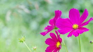 9月の花といえばコスモス
