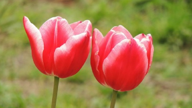 秋に植え春に咲くチューリップ