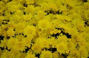 重陽の節句に欠かせない菊