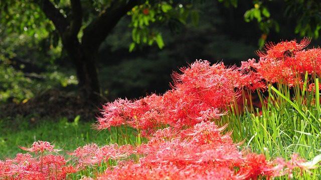 9月の花といえば彼岸花