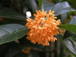 オレンジ色の金木犀の花
