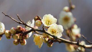 日本三名園の偕楽園に咲く梅の花