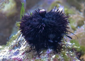 sea-urchins-580339_640