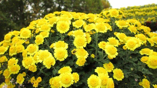 11月の花といえば菊