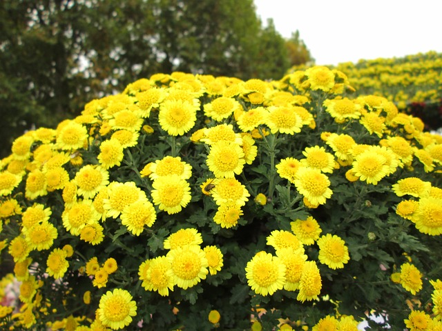 chrysanthemum-208185_640