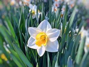daffodil-749455_640