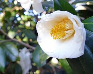 japanese-camellia-697730_640