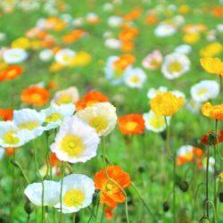 房総で花摘みできるポピーの花