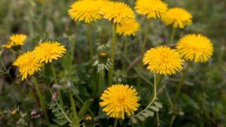 3月の花といえばタンポポ