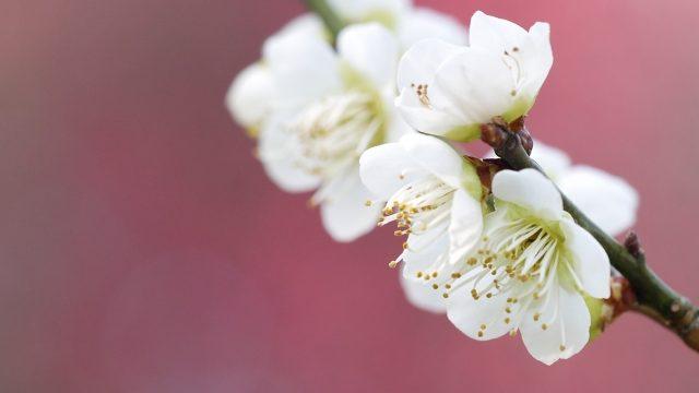寒中見舞いの頃に咲く梅の花