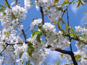 春雨の頃に咲く満開の桜