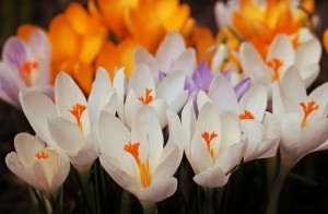 2月の花といえばクロッカス