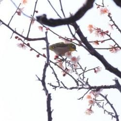 三寒四温の頃の梅とメジロ