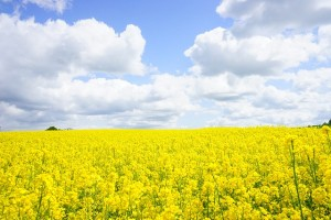 field-of-rapeseeds-474515_640