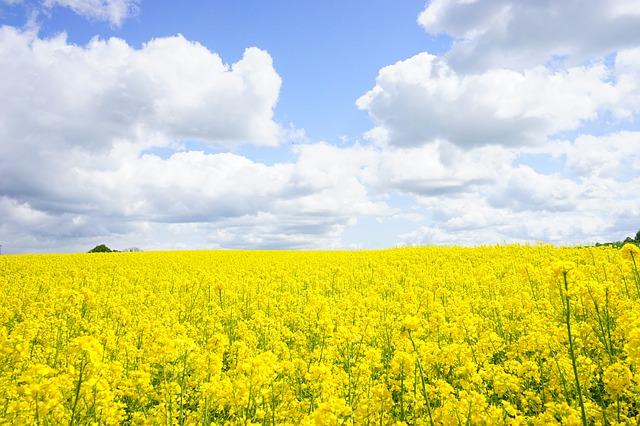 field-of-rapeseeds-474515_640