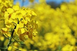 oilseed-rape-761439_640