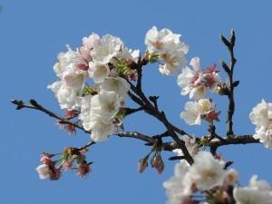 plum-blossom-515321_640