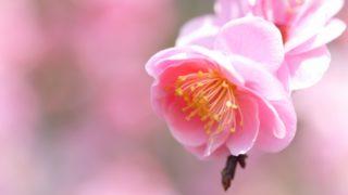 余寒見舞いの頃に咲く梅の花