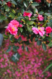 山茶花梅雨の頃に咲くサザンカ
