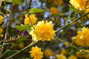 4月に咲く山吹の花
