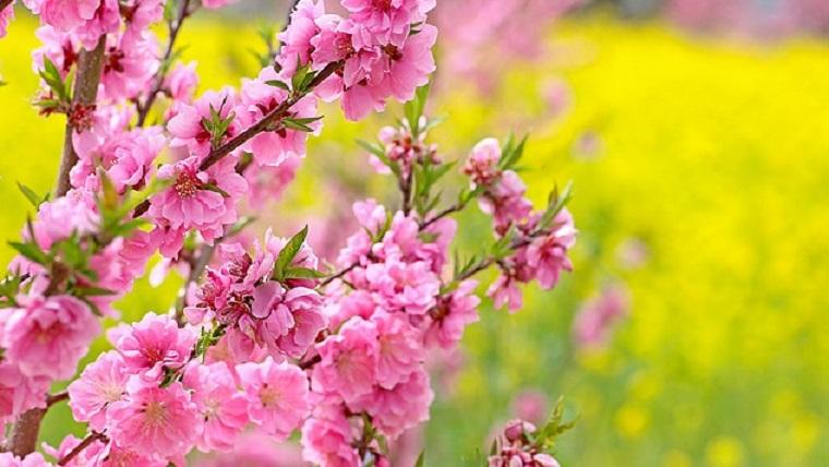 ひな祭りの頃の桃の花と菜の花