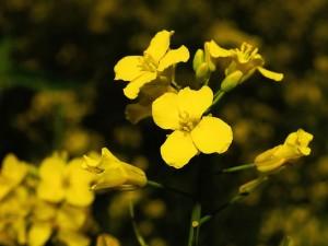 oilseed-rape-782587_640