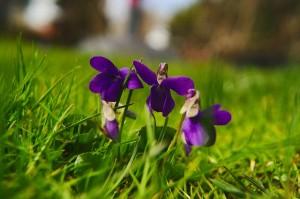 4月に咲くすみれの花