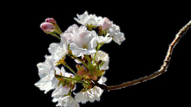 春分が過ぎたころに咲く桜