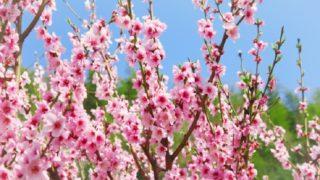 清明・発火雨の頃に咲く桃