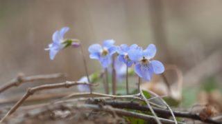 4月の花のすみれ