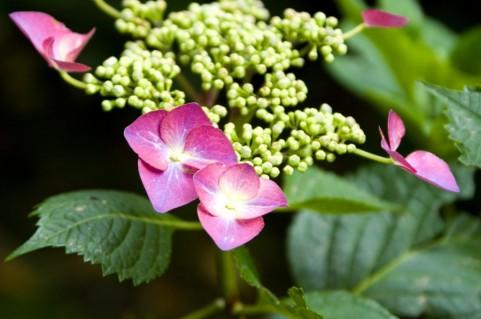 梅雨の頃に咲くあじさい