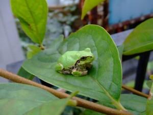 梅雨の頃に見かけるカエル