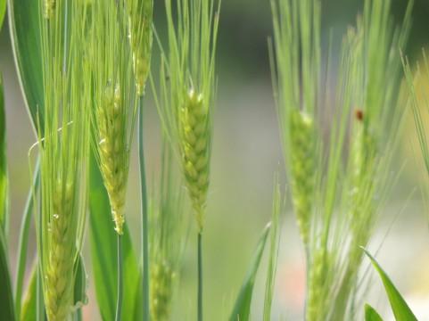 芒種の頃に種まきがされる麦