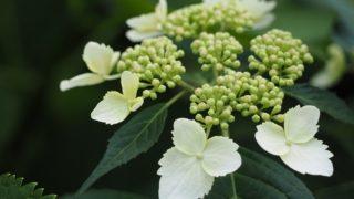 6月の代表的な花あじさい