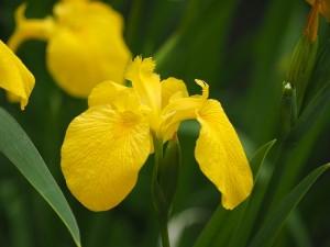 yellow-iris-760884_640