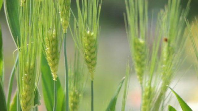 芒種の頃に種まきされる麦