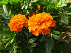 7月の代表的な花のマリーゴールド