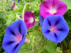 7月の代表的な花の朝顔