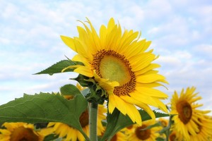 sunflower-450231_640