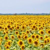 sunflower-832793_640