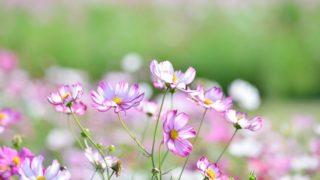 秋分の日の頃に咲くコスモス