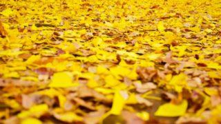 立冬の頃のイチョウの落ち葉