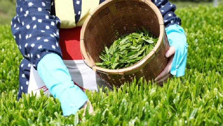 茶摘みの風景