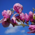 紫色の木蓮の花