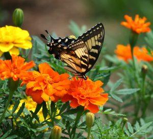 マリーゴールドと揚羽蝶