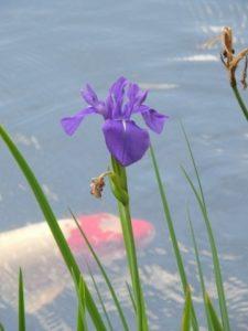 かきつばたの花