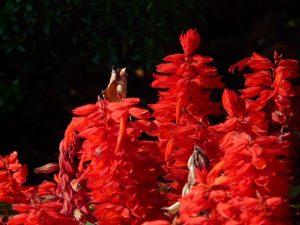 鮮やかな赤のサルビア