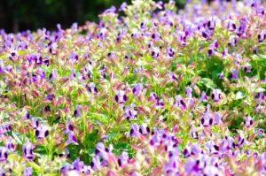 紫色のトレニア