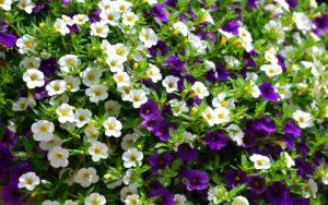 白と紫のペチュニア