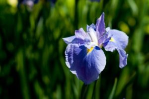 しょうぶの花